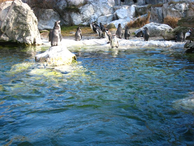 与企鹅的友好的大气在动物园里在维也纳 免版税库存照片