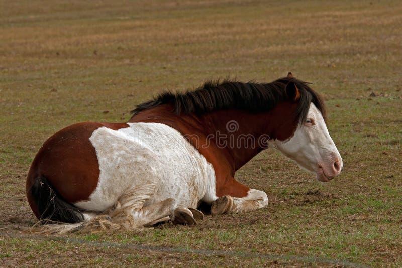 与休息的蓝眼睛的美国油漆马说谎和 库存图片