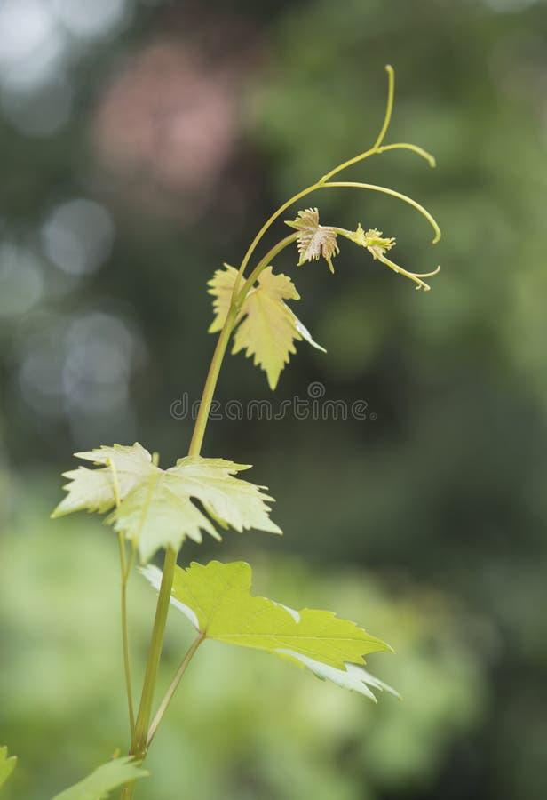 与卷须和绿色叶子的藤分支在自然本底 库存图片