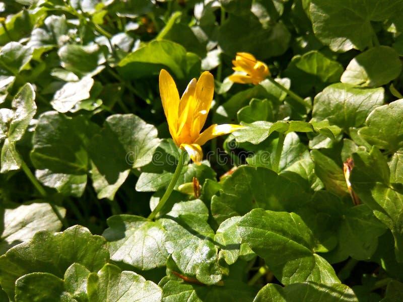 与叶子的狂放的一点白屈菜花Ranúnculus ficaria在早期的春天 免版税库存图片