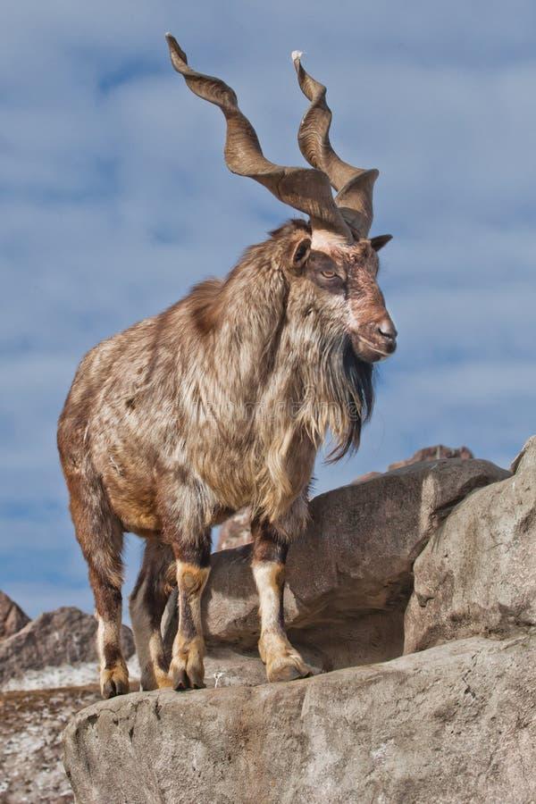 与大垫铁石山羊marchur的一只山羊站立单独在岩石、山风景和天空 在替罪羊的讽喻 免版税库存图片