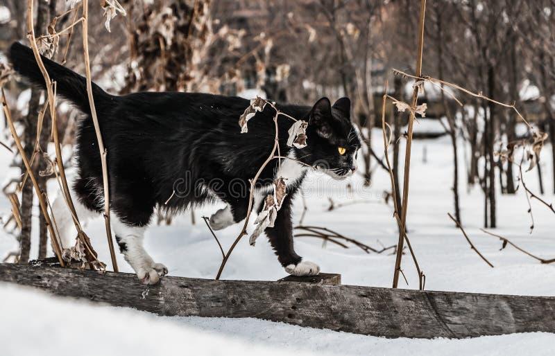 与大明亮的黄色眼睛和桃红色鼻子的一只美丽的黑白猫在有干燥复盆子灌木丛的灰色木篱芭在a 免版税库存图片