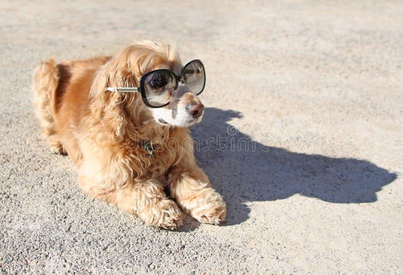 与太阳镜的滑稽的英国猎犬狗 免版税库存照片