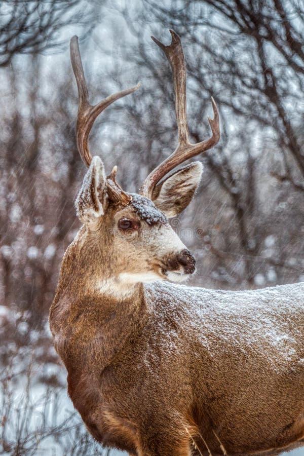 与巨大的鹿角的庄严骡子大型装配架鹿作为在一个美好的冬天场面的雪下降 图库摄影