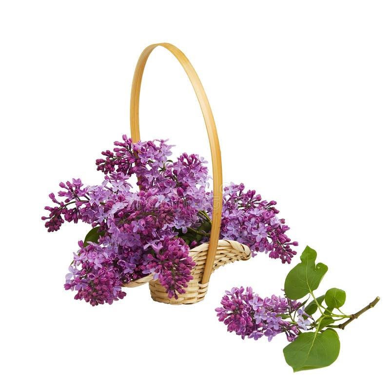 与开花的丁香的柳条筐和在白色背景的淡紫色分支 库存图片