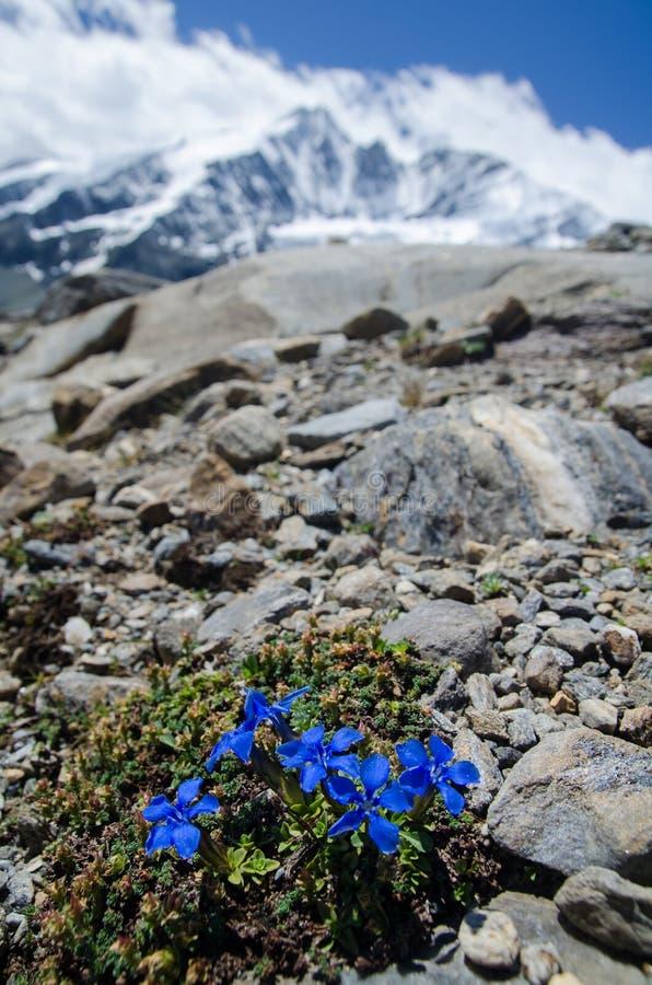 与开花Bitterwort和moutains的高山风景 免版税库存照片