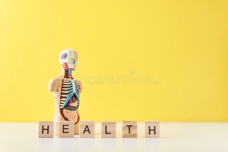 与内脏和词在黄色背景的健康的人的解剖学时装模特 医疗健康概念 库存照片