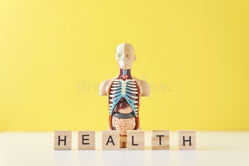 与内脏和词在黄色背景的健康的人的解剖学时装模特 医疗健康概念 免版税图库摄影