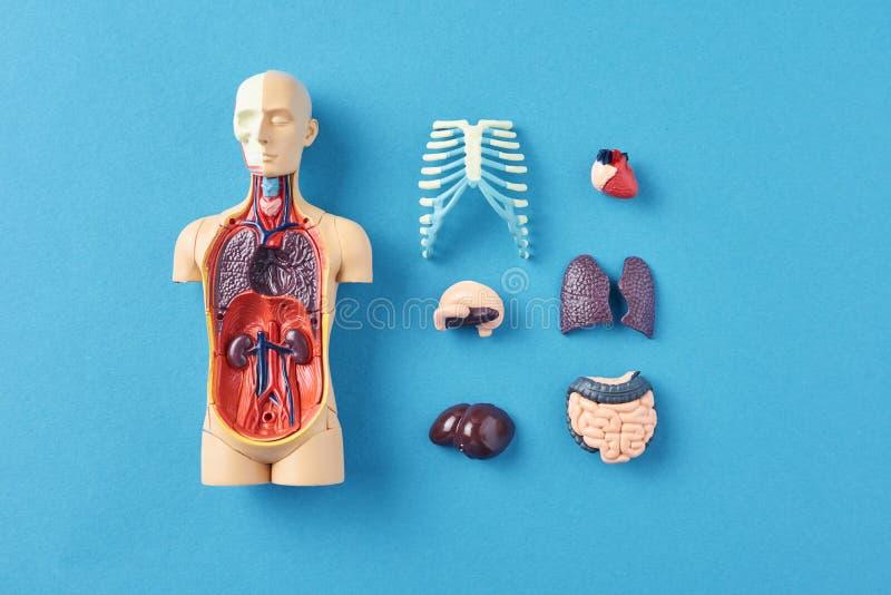 与内脏的人的解剖学时装模特在蓝色背景 免版税库存照片