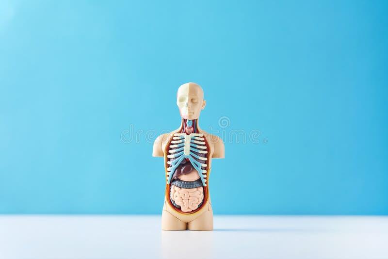 与内脏的人的解剖学时装模特在蓝色背景 免版税图库摄影
