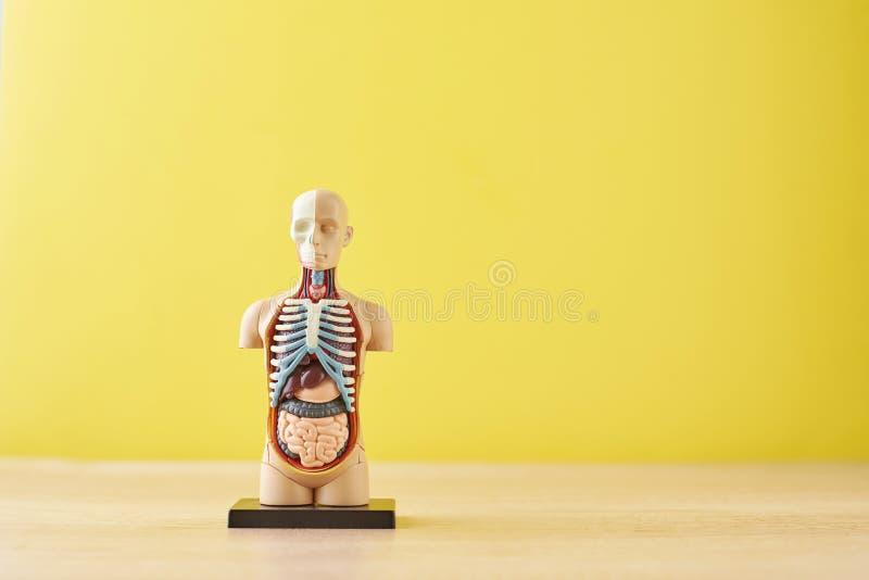 与内脏的人的解剖学时装模特在黄色背景 库存图片