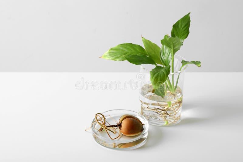 与植物的实验室玻璃器皿白色的 化学概念 免版税库存照片