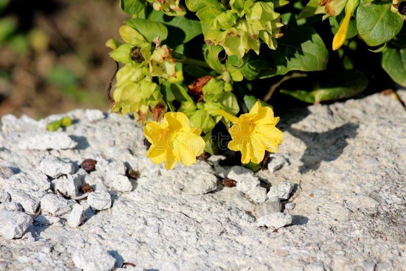 与椭圆形叶子和筒形黄色花的秘鲁奇迹或健神露jalapa长寿的四季不断的草本与长的雄芯花蕊 图库摄影