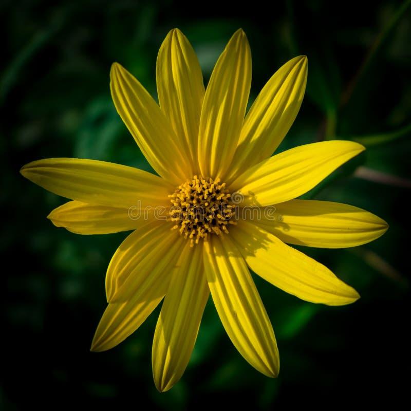 与橙色中心和生动的宜人的纯净的瓣的五颜六色的水多的黄色花 在宏指令的开花的洋姜 弄脏 库存照片