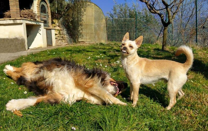与澳大利亚牧羊人的滑稽的笑的狗 库存图片