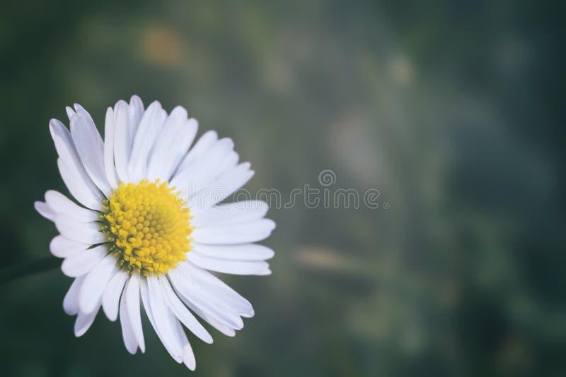 与拷贝空间的美丽的雏菊 图库摄影