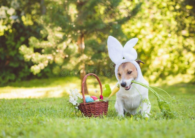 与拿着在嘴的复活节兔子耳朵的害羞的逗人喜爱的狗新鲜的红萝卜 免版税库存照片