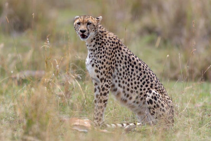 与新杀害的猎豹在马塞人玛拉,肯尼亚,非洲 免版税库存照片