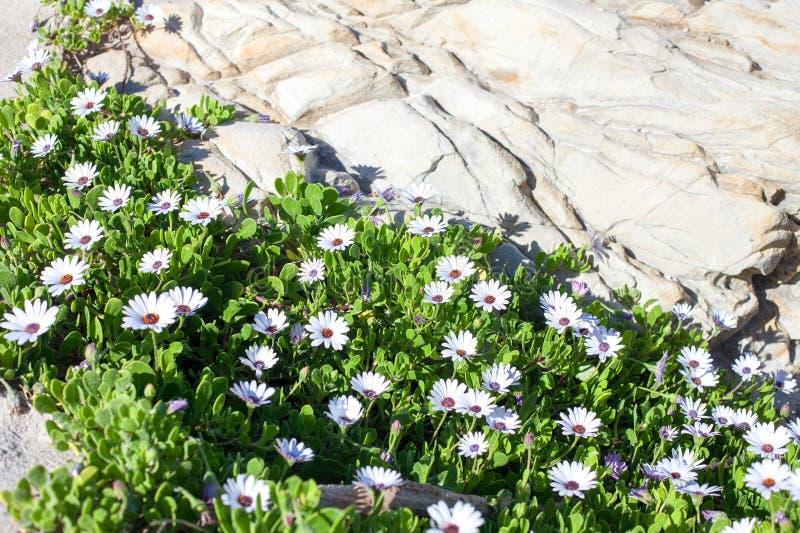 与绿色叶子的许多戴西花在石岩石附近增长 库存图片