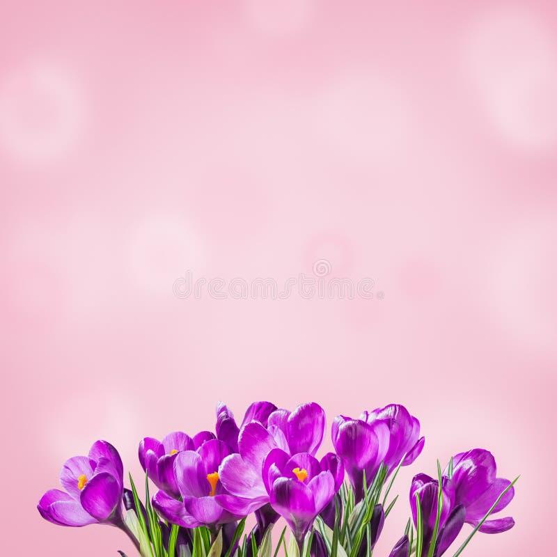 与番红花的Sprind花卉背景 免版税库存照片