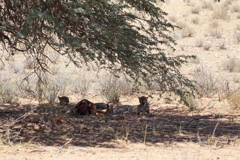 与牺牲者的两头猎豹在kgalagadi境外公园 库存图片