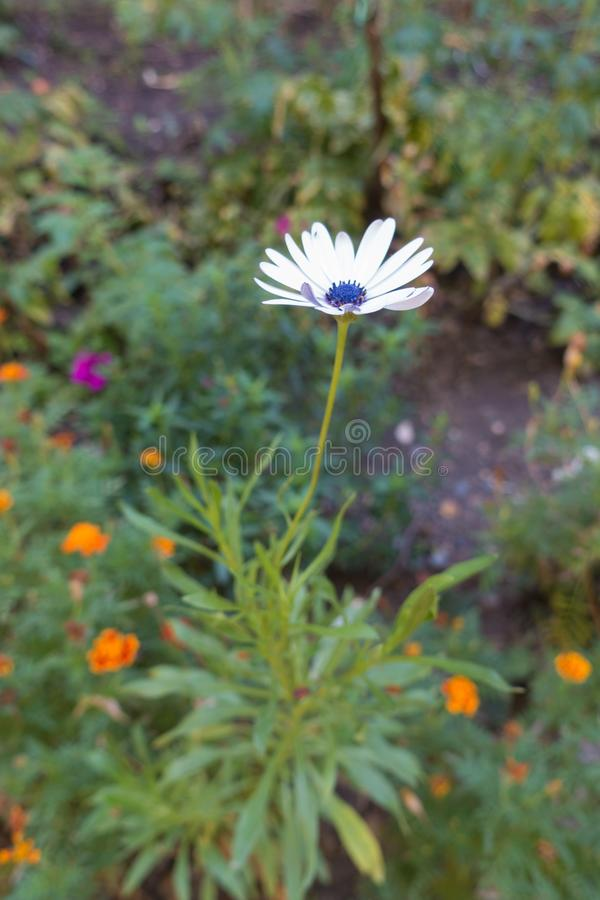 与白花头的非洲雏菊ecklonis 库存照片