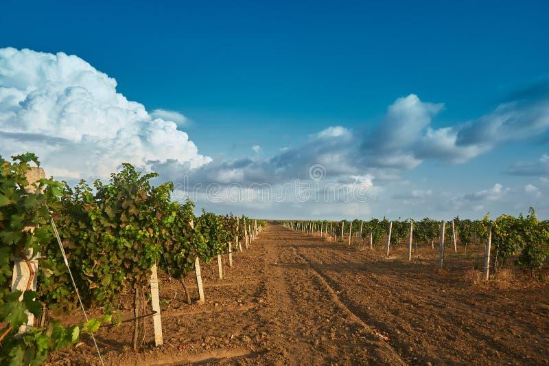 与白色云彩的葡萄园风景在藤天空和绿色行  库存照片