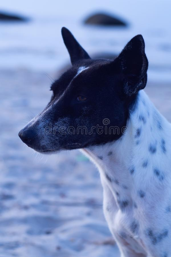与白色和交通事故多发地段的泰国狗 在海滩地区背景中 免版税库存照片