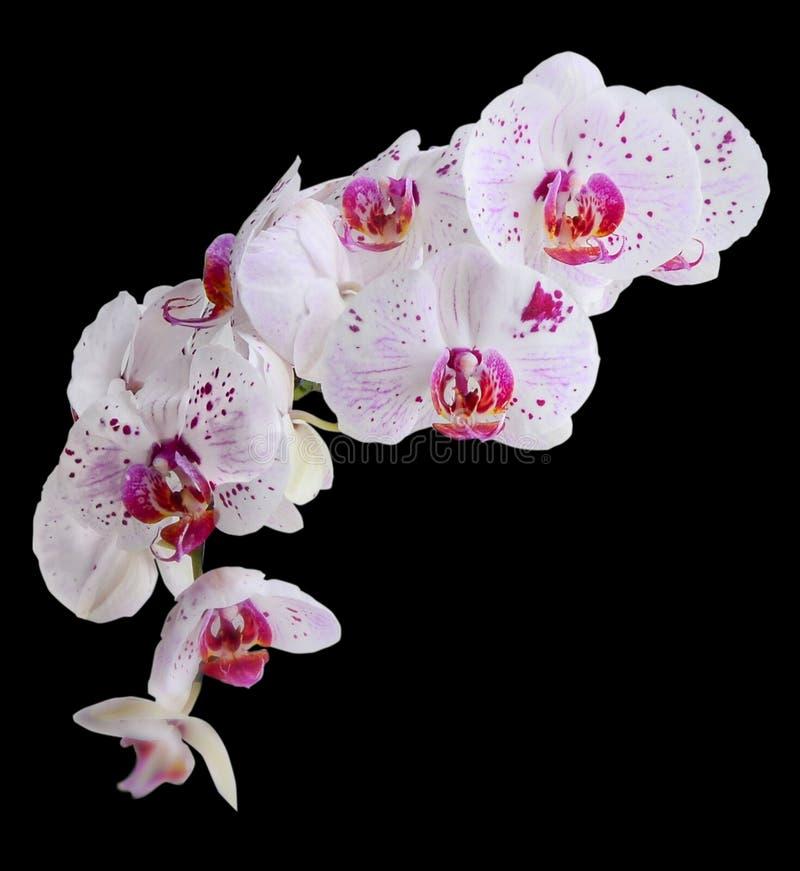 与紫色的白色成脉络兰花植物被隔绝的兰花花 免版税库存图片