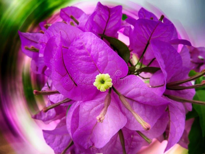 与紫色瓣的美丽和大花九重葛spectabilis和在抽象背景的绿色,黄色和白色叶子 免版税库存照片