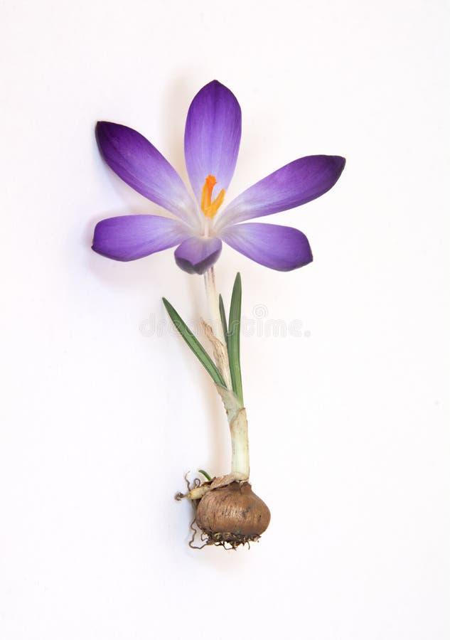 与紫色瓣的Cocus电灯泡 库存照片