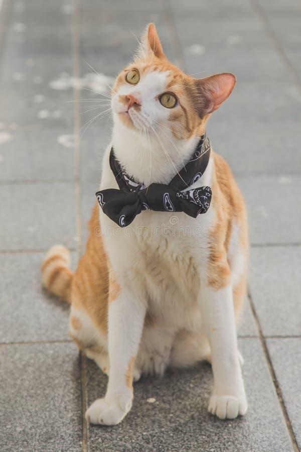 与蝶形领结的白色和橙色猫 库存图片