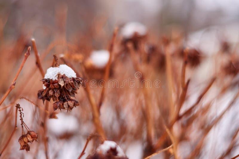 与花的八仙花属或霍滕西亚灌木在雪盖的植物在庭院里在冬天 免版税图库摄影