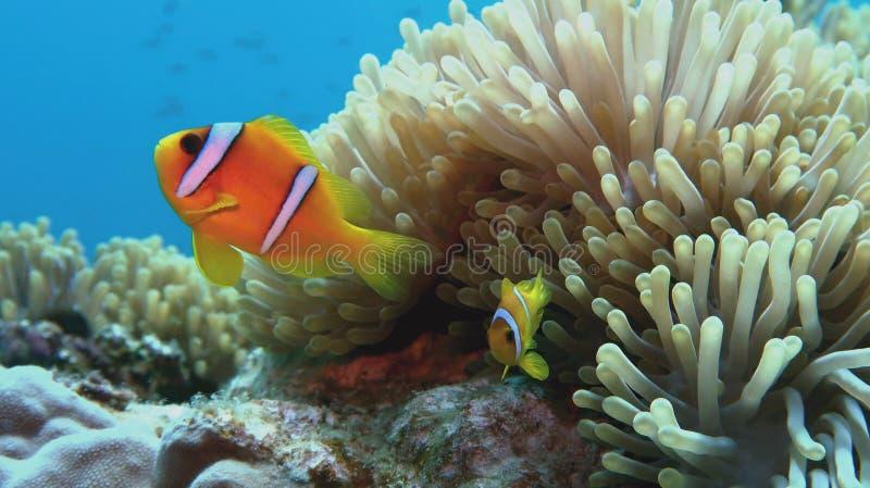 与青少年的小丑鱼在海葵附近 双锯鱼bicinctus -两被结合的anemonefish 红海 免版税库存照片