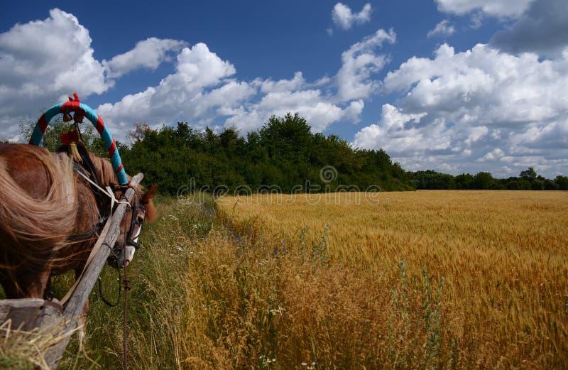 与麦田和天空蔚蓝的乌克兰夏天风景 库存图片