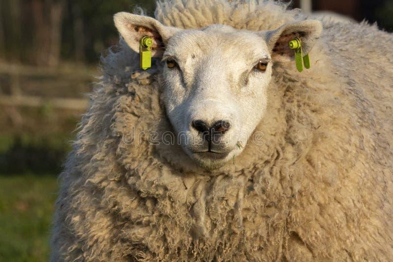 与黑形成她的外套的鼻子和很多软的卷发的大白羊 库存图片