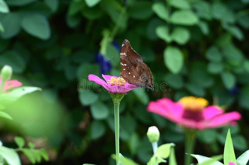 与黑线的布朗蝴蝶在翼 免版税库存照片
