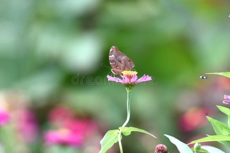 与黑线的布朗蝴蝶在翼 免版税库存图片