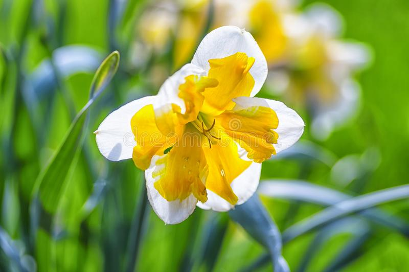 与黄色中部的白色黄水仙由夏天太阳点燃 免版税图库摄影