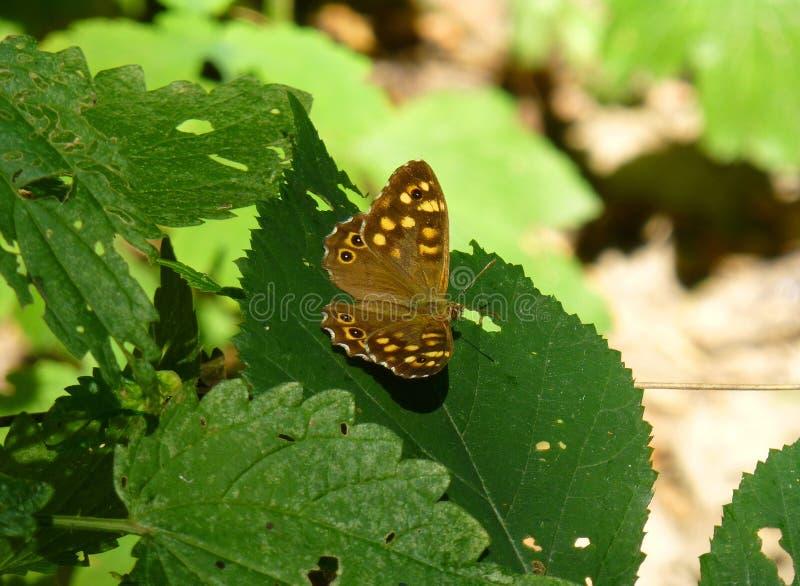 与黄色小点的布朗蝴蝶坐绿色植物的叶子 免版税库存照片