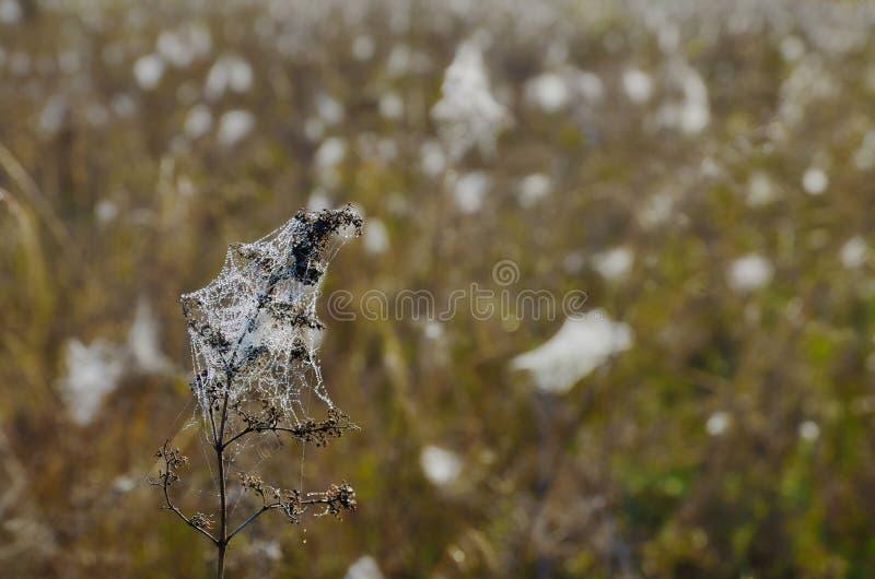 与露珠的Spiderweb在干草 免版税库存照片