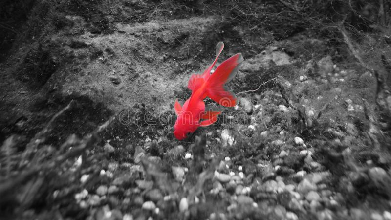 与长的飞翅黑色白色红色的金鱼 图库摄影