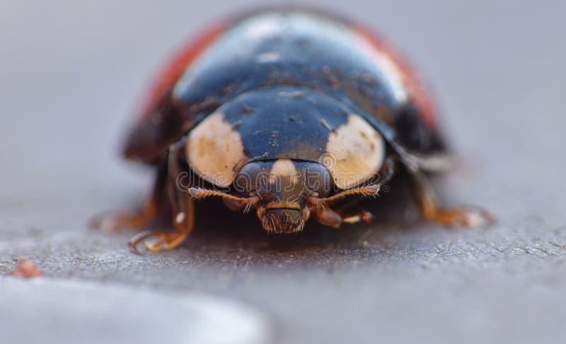 丑角瓢虫 Caped侵略者瓢虫/瓢虫-图象 免版税库存照片