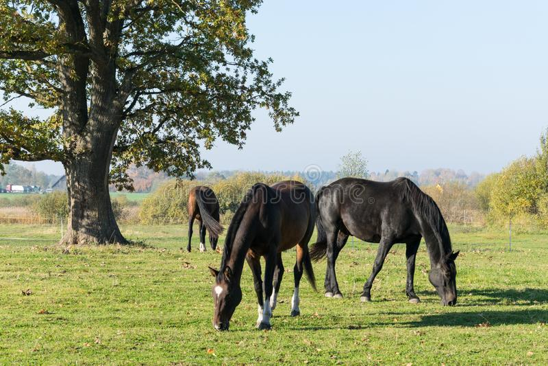 三匹马在草甸吃草 三匹美丽的马 免版税库存图片