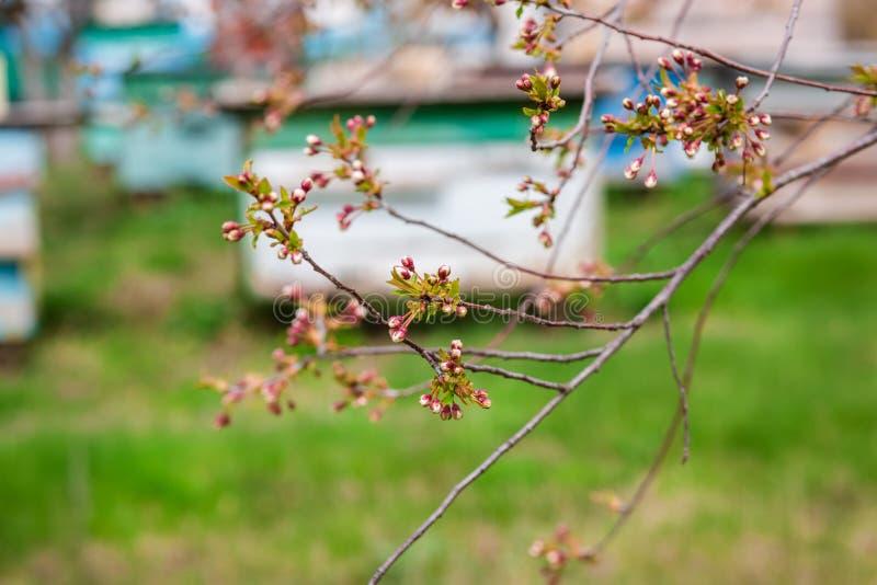 一个小组蜂群在一个老木蜂箱的在农厂庭院里 蜂房,群,保护从风和与好逗留 库存照片
