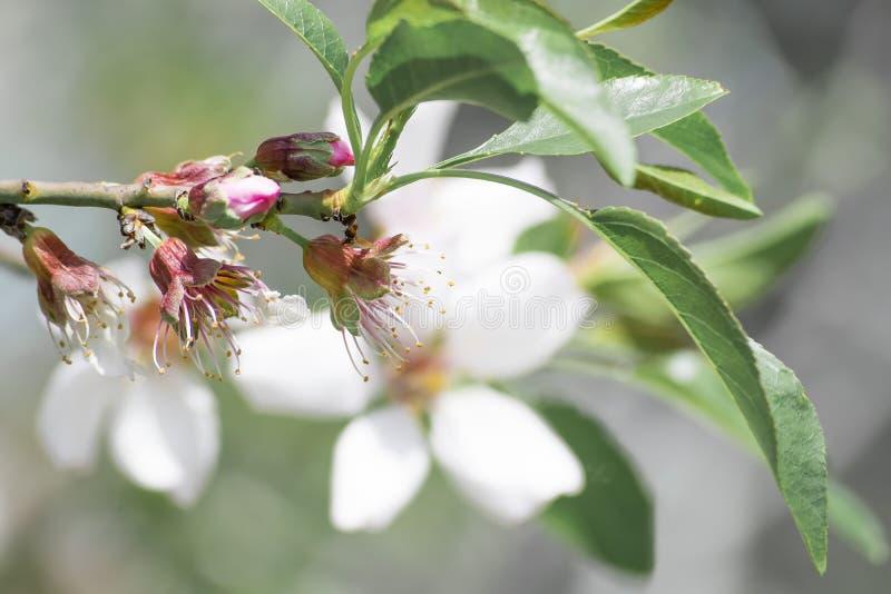 一个美妙地开花的扁桃的分支 有黄色雄芯花蕊和叶子的特写镜头白色瓣 库存照片