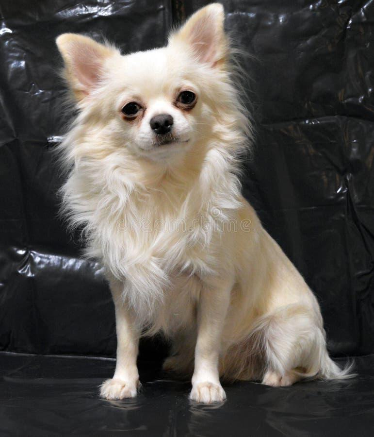 一个白色狗奇瓦瓦狗品种的画象在黑背景的 库存照片