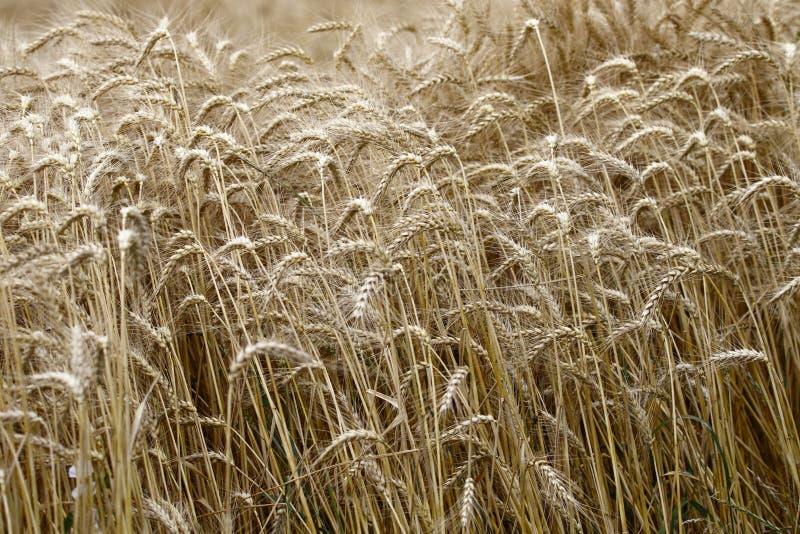 一个领域用裂口黑麦,夏令时 免版税库存图片