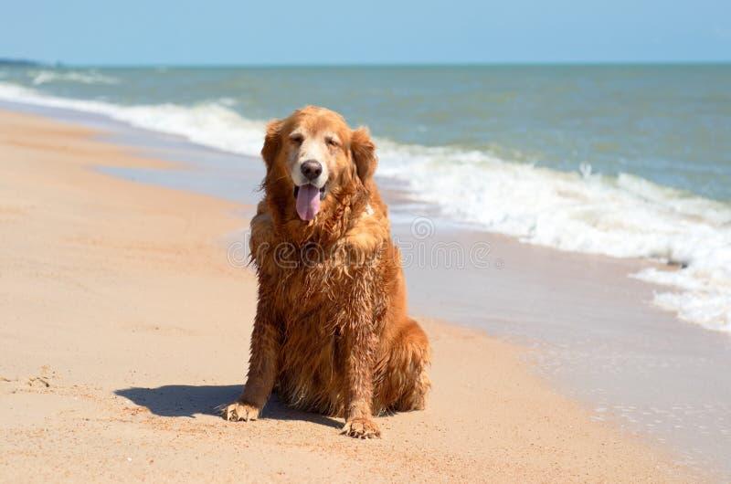一个金毛猎犬狗品种坐海滩和波浪在夏天 免版税库存图片