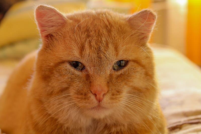 一只大红色镇静猫的画象 图库摄影